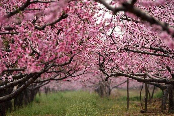 当遇上轻扬的风,桃花瓣也随风飞舞.